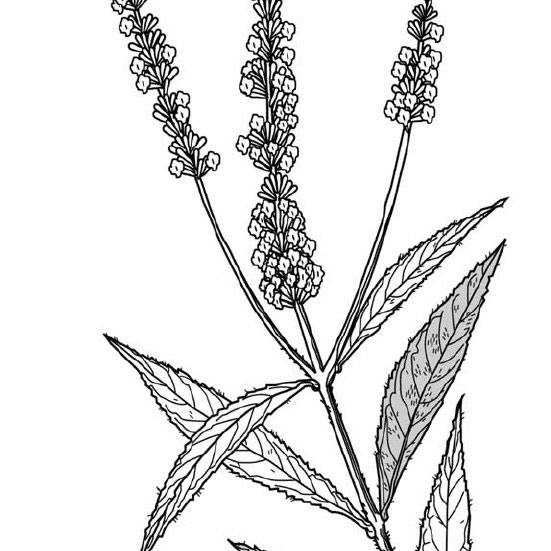 Sketch-of-Summer-lilac