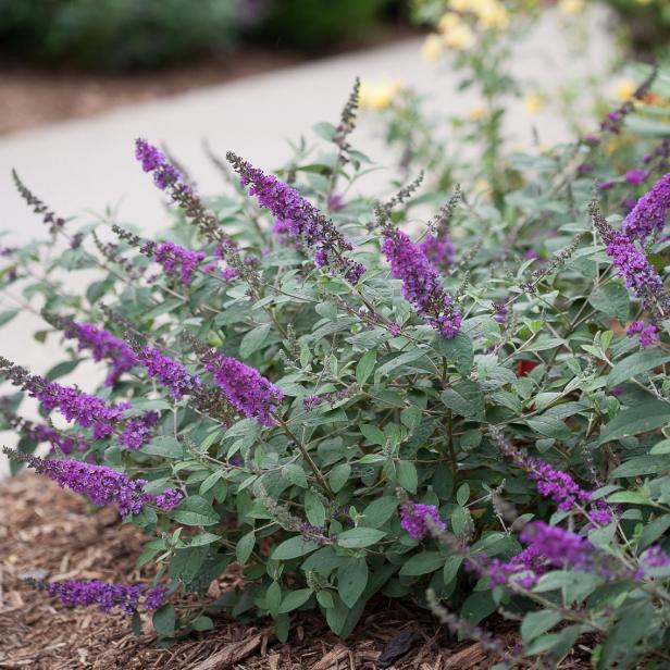 Summer-lilac-plant