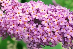Closer-view-of-flowers-of-Summer-lilac