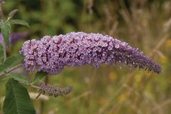 Flower-of-Summer-lilac