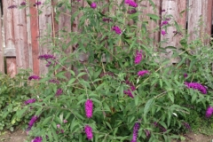 Summer-lilac-Plant-growing-wild