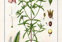 Plant-illustration-of-Summer-savory