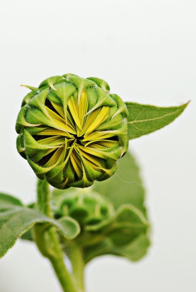 Flower-bud-of-Sunflower