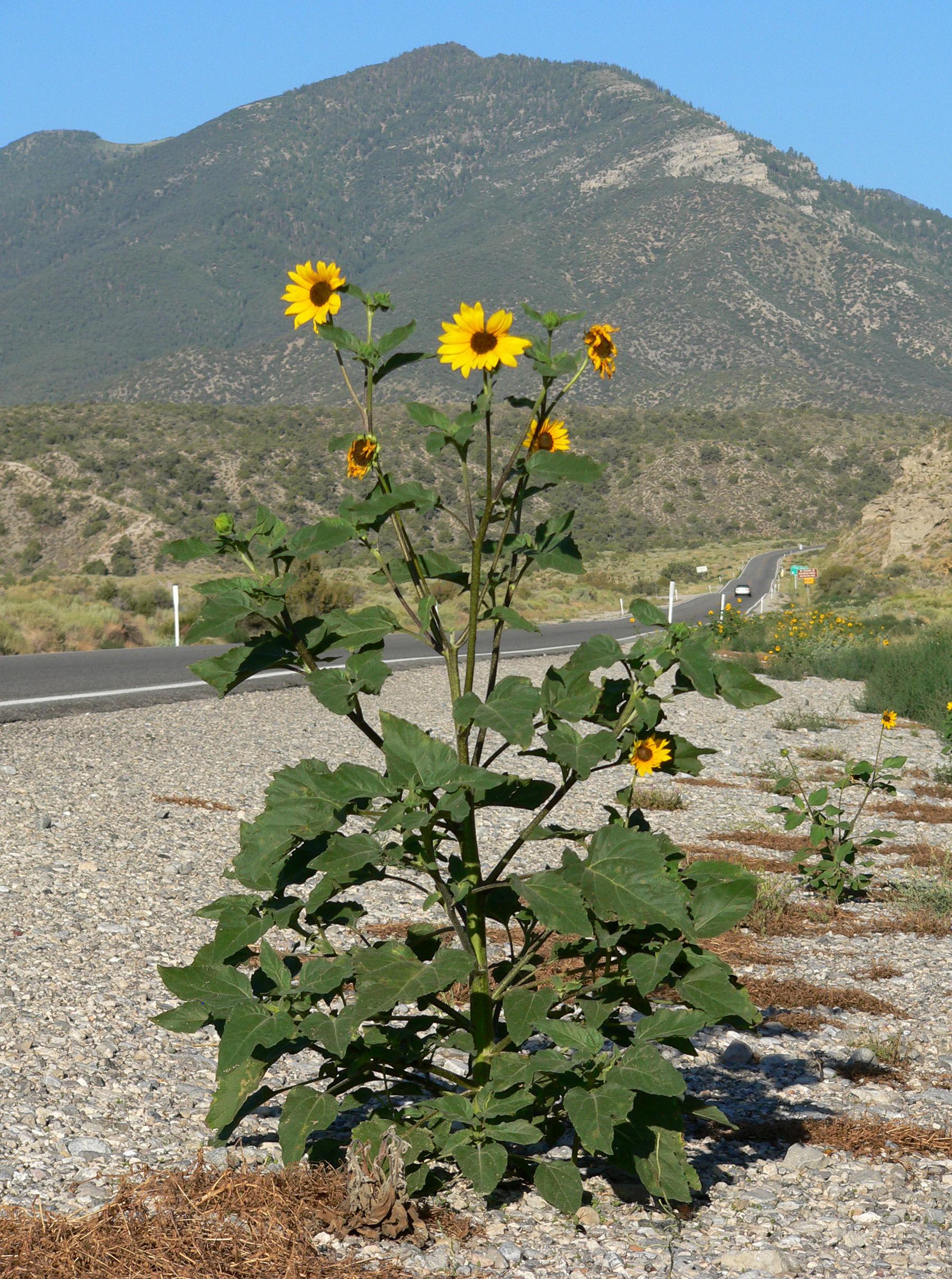 Sunflower-plant