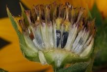 Sunflower-fruit