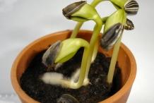 Sunflower-seedlings