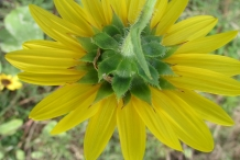 Back-view-of-Sunflower