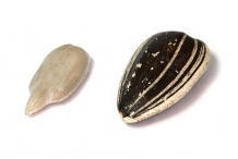 Close-view-of-Sunflower-seeds
