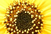 Sunflower-disc-florets