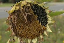 Sunflower-dried