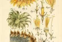 Plant-illustration-of-Sunflower