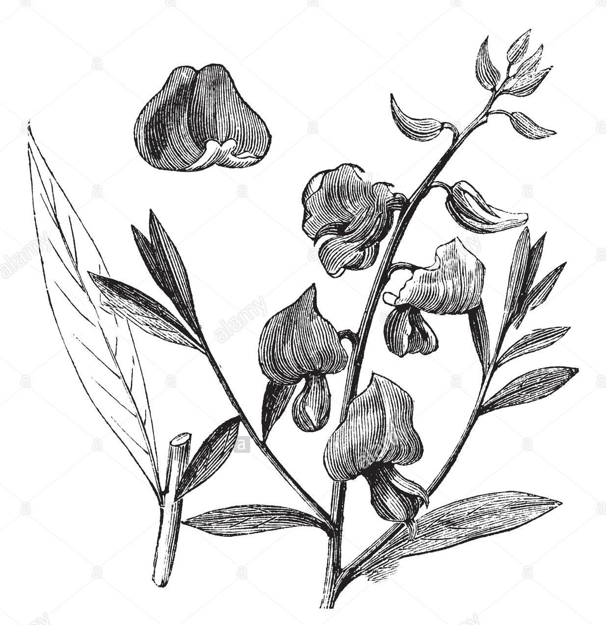 Sketch-of-Sunn-hemp