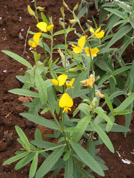 Sunn-hemp-Plant