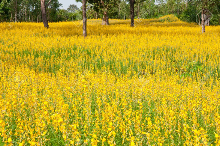 Sunn-hemp-farming