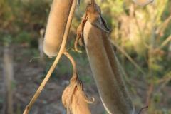 Dried-Mature-fruits-of-Sunn-hemp