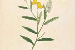 Plant-Illustration-of-Sunn-hemp