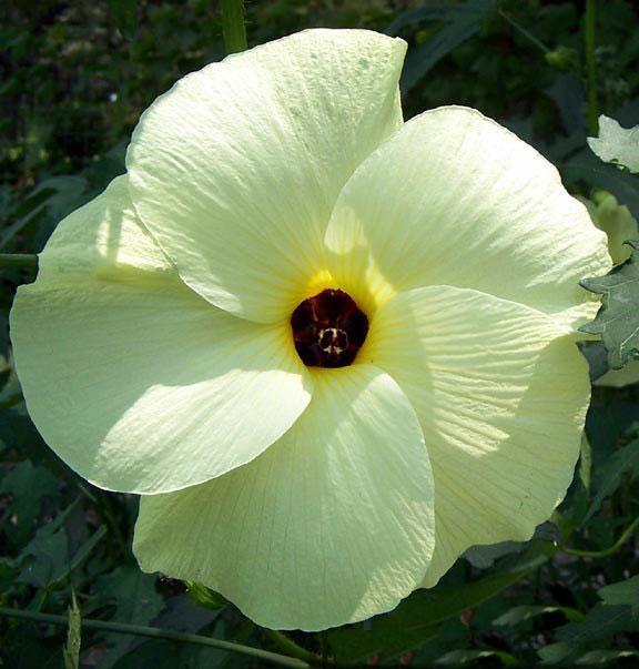 Flower-of-Sunset-hibiscus