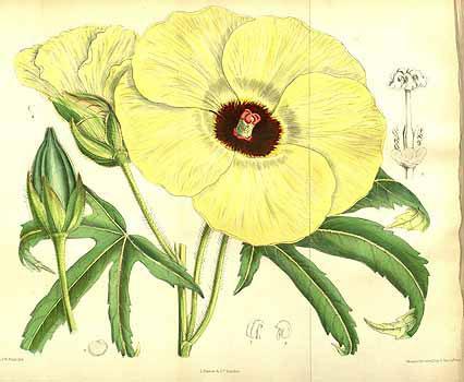 Plant-illustration-of-Sunset-hibiscus