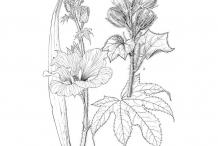 Sketch-of-Sunset-hibiscus