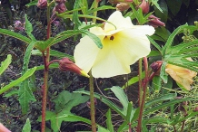 Sunset-hibiscus-Plant