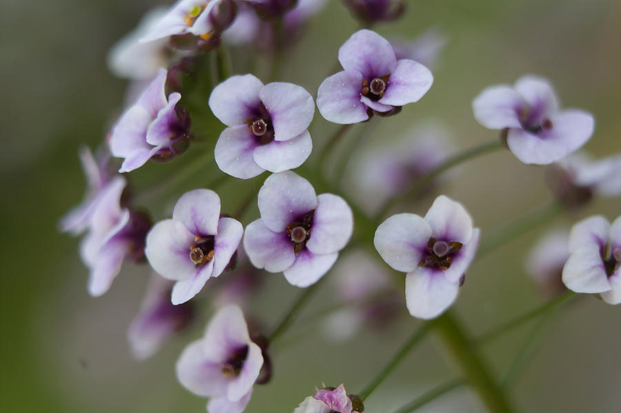 Close-up-of-Sweet-Alyssum
