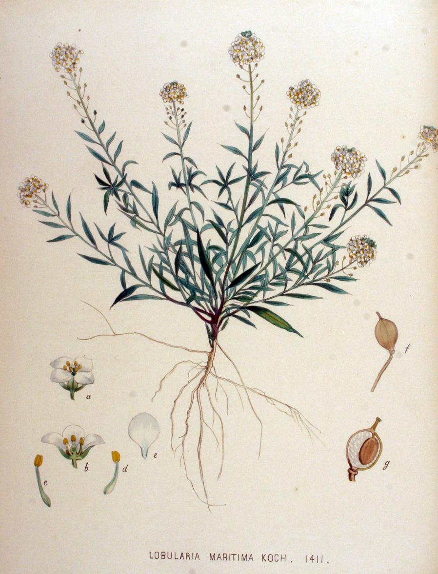 Illustration-of-Sweet-Alyssum