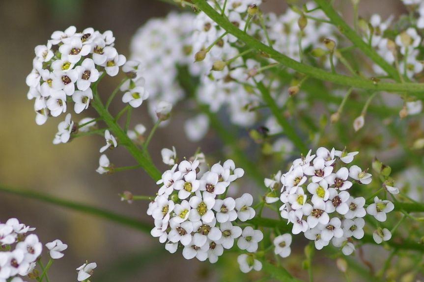 Sweet--Alyssum-flowers