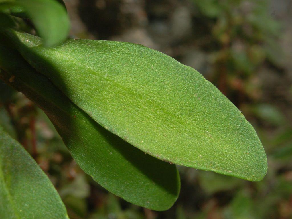 Sweet-Alyssum-leaves