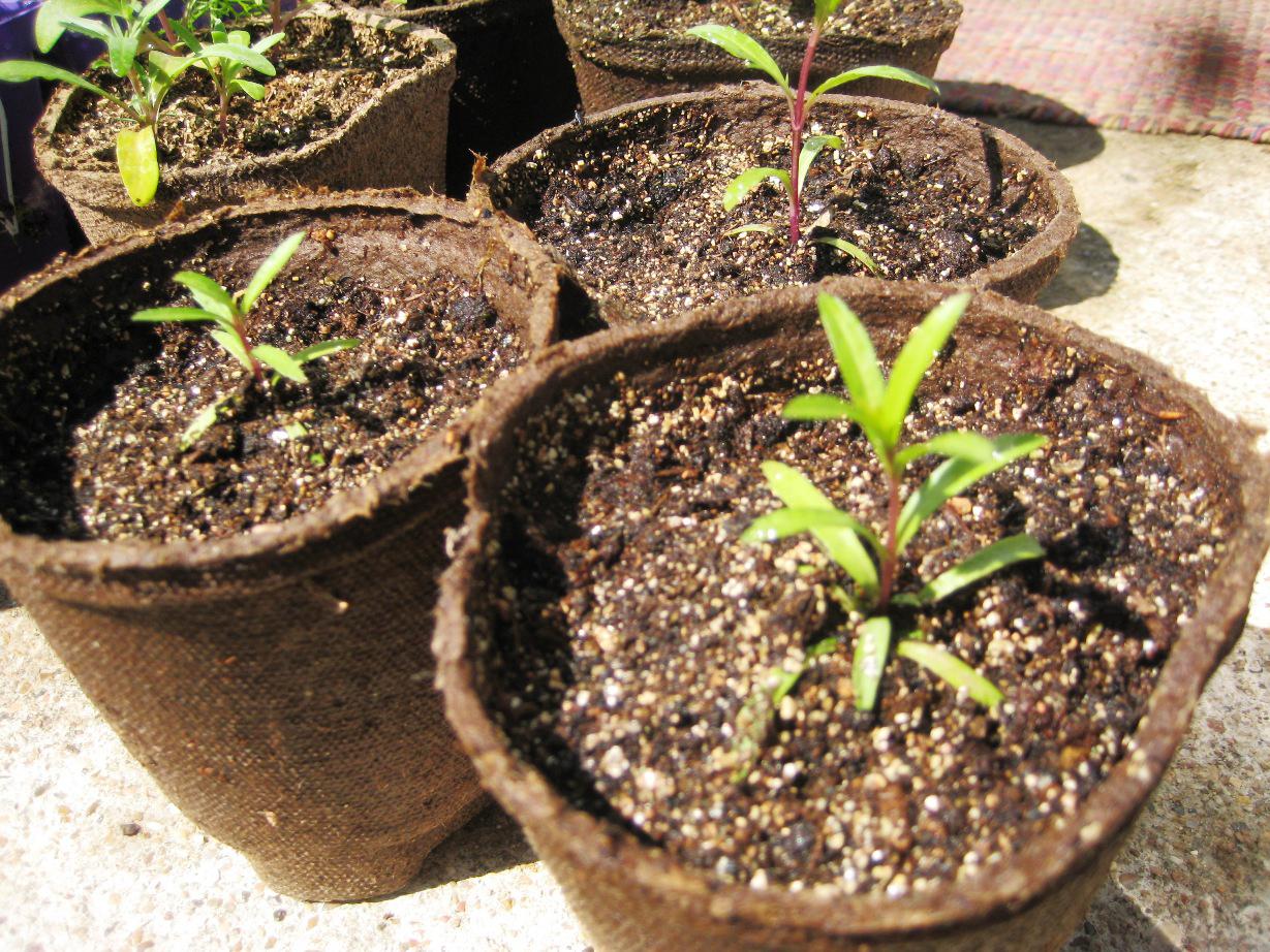 Sweet-Alyssum-seedlings