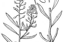 Drawing-of-Sweet-Alyssum