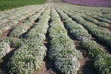 Sweet-Alyssum-farm