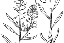 Drawing-of-Sweet-Alyssum