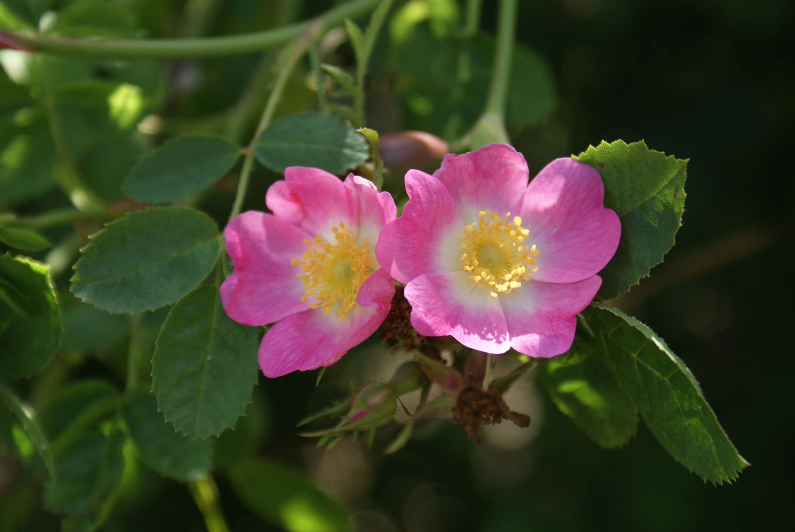 Flowers-of-Sweet-briar