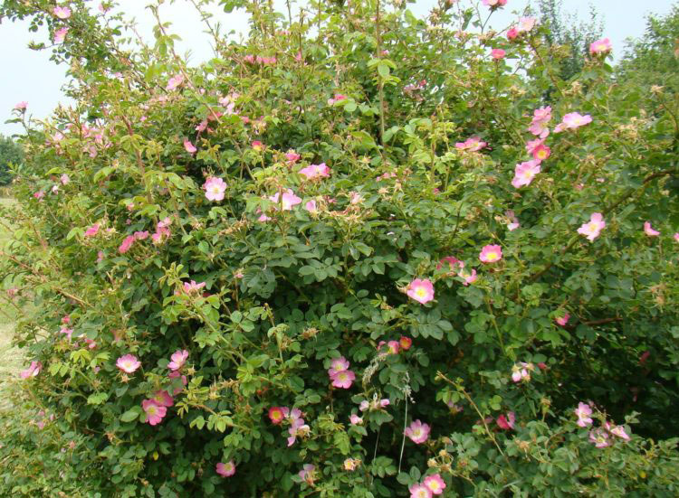 Sweet-briar-plant-growing-wild