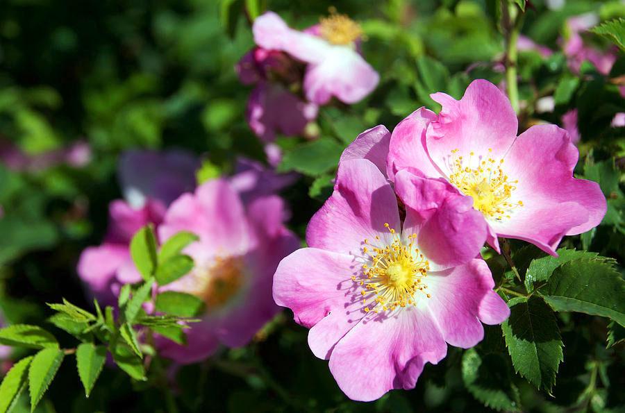 Sweet-briar-plant