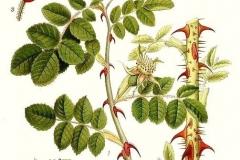 Plant-Illustration-of-Sweet-briar