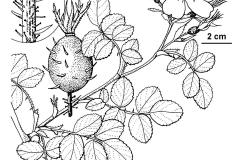 Sketch-of-Sweet-briar