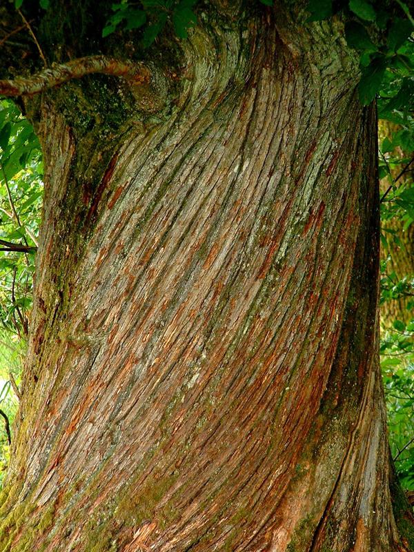 Sweet-chestnut-bark