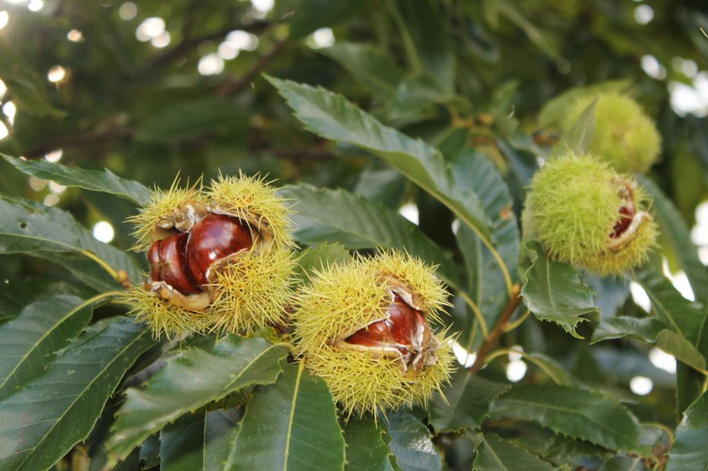 Sweet-chestnut-fruit-cracked