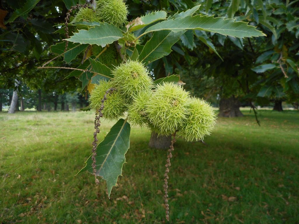 Sweet-chestnut-fruit
