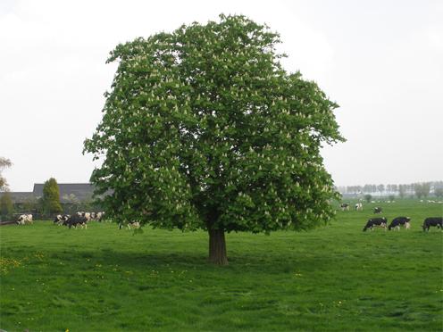Sweet-chestnut-tree