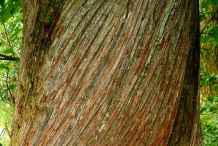 Sweet-chestnut-bark
