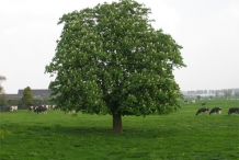 Sweet-chestnut-tree