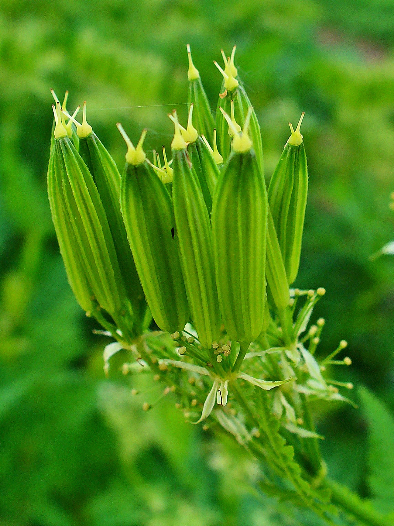 Sweet-cicely-immature-pods