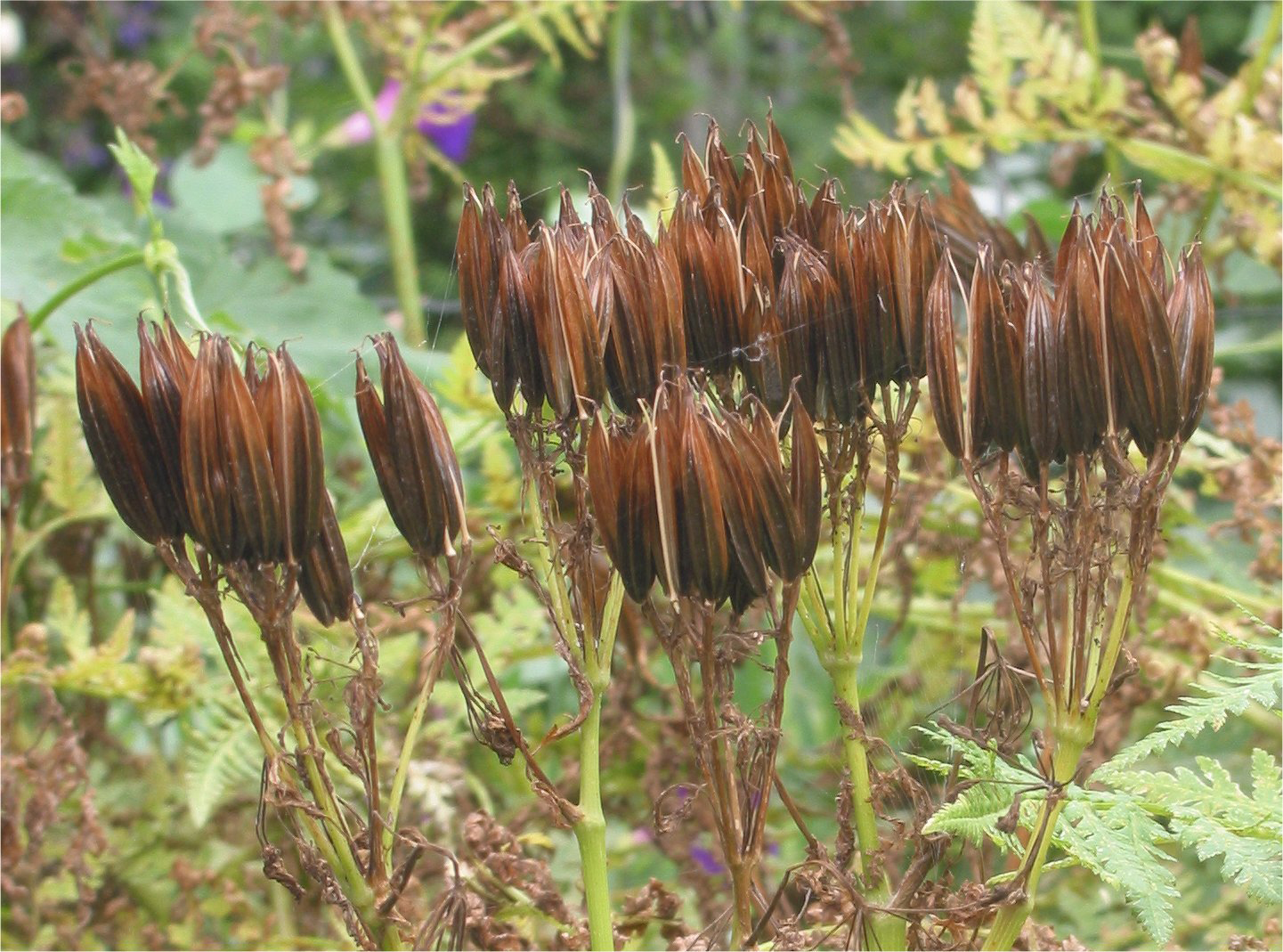 Sweet-cicely-mature-pods