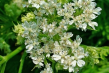 Sweet-cicely-flowers