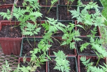 Sweet-cicely-seedlings