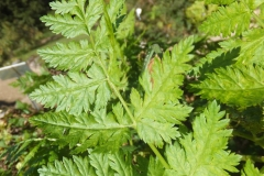 Sweet-cicely-leaf