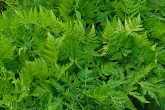 Sweet-cicely-leaves