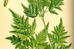 Sweet-cicely-plant-illustration